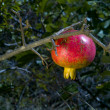 Organic pomegranate on the tree — Stock Photo