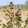 Stock Photo: Oregano (Origanum vulgare)