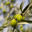 Stock Photo: Olive Tree (Oleeuropaea)