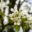 Stock Photo: Apple Blossom