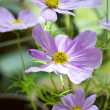 Cosmos flower — Stock Photo