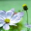 Stock Photo: Cosmos flower