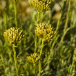 Stock Photo: Curry plant (Helichrysum italicum)