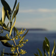 Stock Photo: Olive tree in flowering
