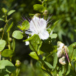 Stock Photo: Caper (Capparis spinosa)