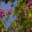 Stock Photo: Snapdragon flower (Antirrhinum majus)