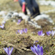 Stock Photo: Saffron (Crocus sativus)