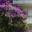 Stock Photo: Bougainvilleplant