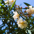 Stock Photo: Oleander in flowering