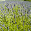 The organic lavender (Lavandula) in Croatia — Stock Photo #14076457