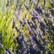 The organic lavender (Lavandula) in Croatia — Stock Photo
