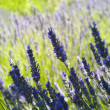 The organic lavender (Lavandula) in Croatia — Stock Photo #14076606