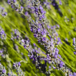 The organic lavender (Lavandula) in Croatia — Foto Stock
