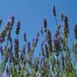 Lavender on the blue sky — Stock Photo