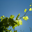 Grape plant on the blue sky — Stock Photo