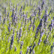 Stock Photo: Organic lavender (Lavandula) in Croatia