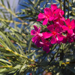 Oleander flower — Stock Photo