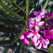 Stock Photo: Oleander flower