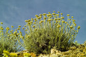 Curry plant (Helichrysum italicum) — Stock Photo