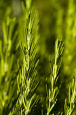 Rosemary (Rosmarinus officinalis) — Foto de Stock