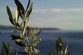 Olive tree in flowering — Stock Photo