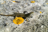 The Lizard (Podarcis melisellensis) — Stock Photo