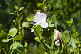 Caper (Capparis spinosa) — Stock Photo