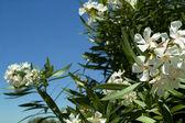 Adelfa en floración — Foto de Stock