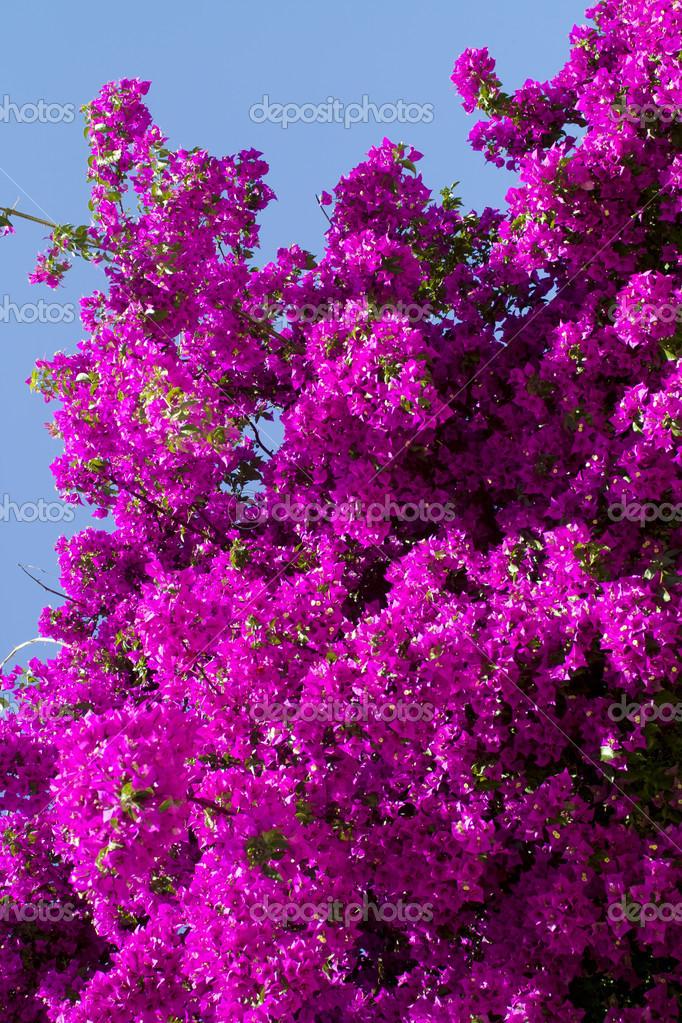 bougainvillea pflanze stockfoto plazmatik 14076732. Black Bedroom Furniture Sets. Home Design Ideas