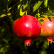 Stock Photo: Pomegranate (Punicgranatum)