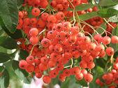 ナナカマドの果実 — ストック写真