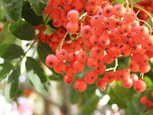 Branch of ashberry — Stockfoto