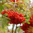 Rowan berries — Stock fotografie