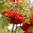 Rowan berries — Stockfoto