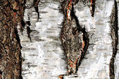 Texture of a birch tree — Stock Photo