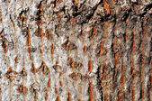 Texture of a pine tree — Stock Photo