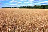Panorama of wheat field — Stock Photo