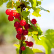 Red currant berries with leaves — Stock Photo