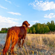 Setter dog on the background — Stock Photo
