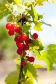 Bacche di ribes rosso con foglie — Foto Stock