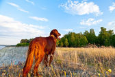 Setter dog on the background — Stock Photo