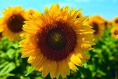 Sommer sonnenblume-feld — Stockfoto