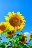 Sunflower against blue sky — Stock Photo