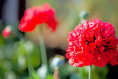 Red poppy flowers on green background — Stock Photo