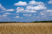 Wheat field blue sky with white — Foto de Stock