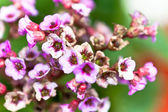 Mauve flowers origanum in the garden on a green — Stock Photo