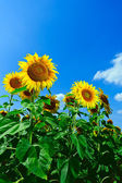Bright flowers of sunflower — Photo