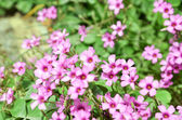 Oxalis flower — Stock Photo