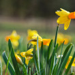 Stock Photo: Picture of daffodils