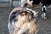 シャギーの髪のヤギ — ストック写真